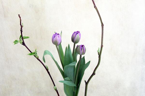 木苺 紫チューリップ600 400